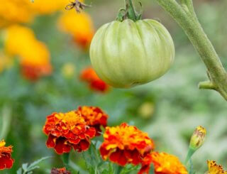 An unripe tomato hanging over a bed of marigolds.