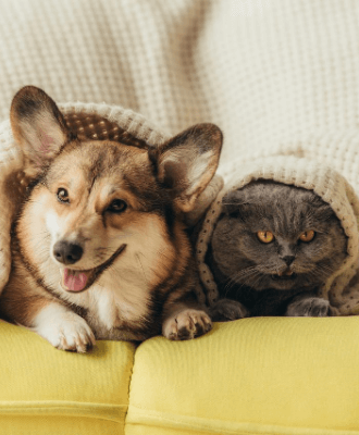 corgi dog and a gray cat laying down side by side under a blanket